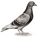 Jerry Pigeon
